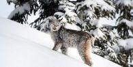 Benarkah Kucing Liar Kanada Telah Selamat dari Kepunahan?