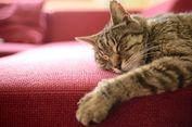 Jangan Biasakan Kucing Tidur di Kasur Anda