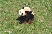 Punya Kebiasaan Buruk Berjalan Mundur, Panda Ini Bakal Dikawinkan