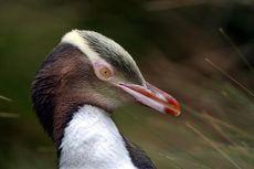 Penguin Mata Kuning Terancam Punah, Apakah karena Ulah Nelayan?