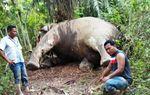 Polisi Selidiki Kematian Gajah di Aceh Timur