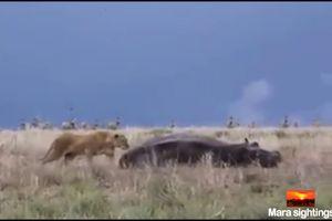 Inilah yang Terjadi Ketika Seekor Singa Membuat Kuda Nil Kaget