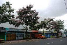 Bunga Tabebuya Kembali Bermekaran, Magelang bak Negeri Sakura