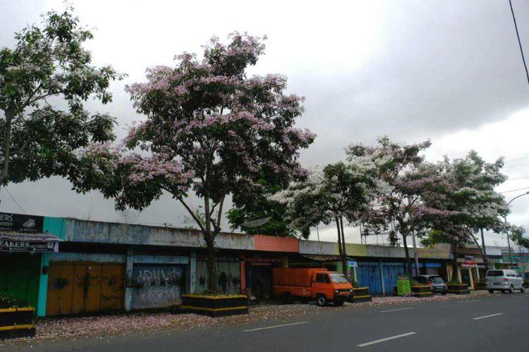 Pohon bunga tabebuya bermekaran di Jalan A Yani, kawasan Kebonpolo, Kota Magelang, Senin (23/10/2017).