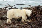 Puluhan Beruang Kutub Kepung Sebuah Desa di Rusia