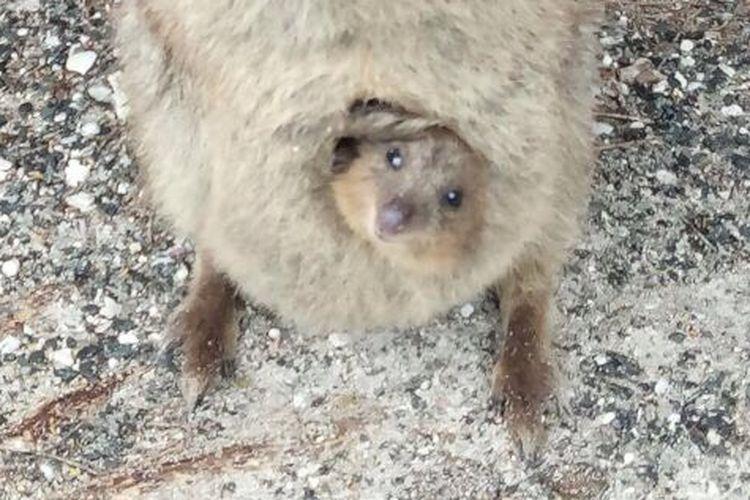 Anak Quokka di pulau Rottnest, Australia Barat, Senin (11/9/2017)