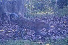 Dianggap Punah, Macan Tutul Kembali Ditemukan di Sukabumi