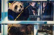 Dua Panda Raksasa Tiba di Belanda, Kandangnya Berbiaya Rp 99 Miliar