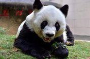 Taman Safari Indonesia Jemput Panda Raksasa ke China