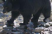 Setelah 80 Tahun, 500 Beruang Pulang Kampung karena Perubahan Alam