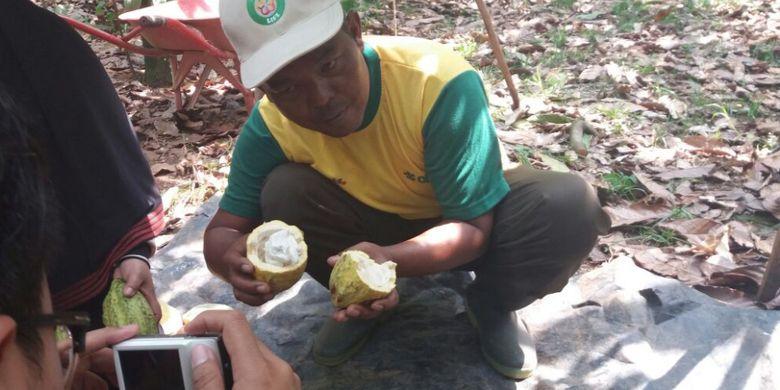 Buah Kakao yang dipanen oleh Sutrisno, Petani asal Desa Waringin Sari Timur, Pringsewu, Lampung