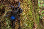 Tarantula Baru Ditemukan di Amerika Selatan, Warnanya Biru Elektrik
