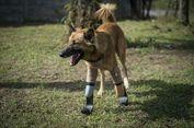 Kisah Cola, Anjing dengan Kaki Lempengan Pertama di Dunia