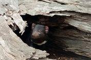 Serunya Bertemu dengan Tasmanian Devil yang Asli