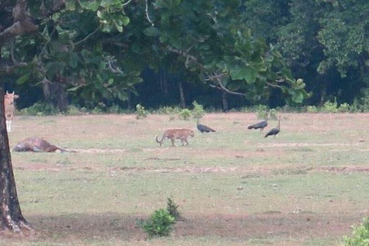 Satwa yang diduga harimau jawa terekam kamera jebakan di Taman Nasional Ujung Kulon, Provinsi Banten. Sudah sejak 1996, hewan tersebut dinyatakan punah.