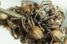 Inikah Laba-laba Paling Durhaka di Dunia?