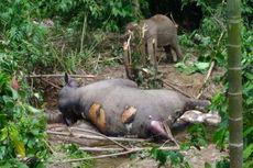 Gajah Dewasa Ditemukan Mati dengan Belalai Terpotong, Sang Bayi Tak Mau Beranjak