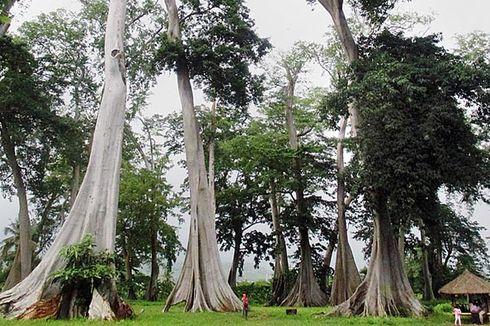 Melihat Pohon Purba di Lombok Timur