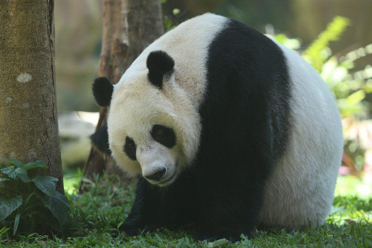 Serunya Menengok Panda, Hewan Menggemaskan di Taman Safari video viral info traveling info teknologi info seks info properti info kuliner info kesehatan foto viral berita ekonomi