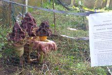 Di Sukabumi, Ada Bunga Bangkai Mekar di Kebun Sekolah