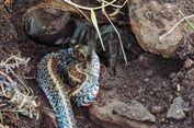 Kisah Hewan-hewan yang Menantang Maut Melawan Ular dan Akhirnya Menang