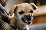 Apa yang Harus Dilakukan Bila Anda Digigit Anjing?