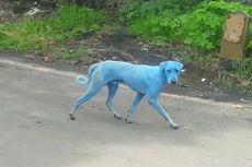 Mengapa Anjing-anjing Bertubuh Biru Bermunculan di India?