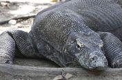 Benarkah Komodo di Taman Nasional Stress Akibat Banyaknya Wisatawan?