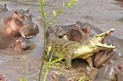 Puluhan Kuda Nil Keroyok Seekor Buaya di Taman Nasional Serengeti
