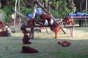 Dalam Dua Tahun Terakhir, 134 Orangutan Diselamatkan