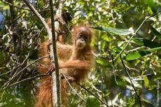 Cerita Kami Menemukan Orangutan Tapanuli, Jenis Baru dan Terlangka