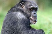 Simpanse Tertua Eropa Mati di Taman Safari Skotlandia