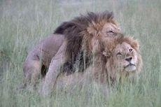 Hubungan Seks Antara Dua Singa Jantan Terekam di Kenya
