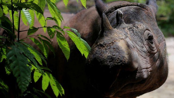 Menjenguk Harapan, Badak Sumatera Kelahiran Amerika
