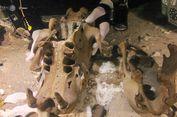 Spesies Kungkang Raksasa Ditemukan, Beratnya sampai 200 Kilogram