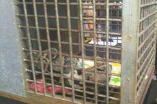 Anak Macan Mati di Taman Marga Satwa dan Budaya Kinantan Bukittinggi
