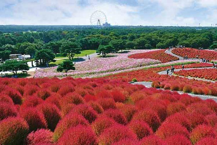 Pemandangan di daerah Ibaraki, Jepang, yaitu hamparan tumbuhan Kokia (Kochia Schoparia) yang berbentuk seperti bulatan dan berwarna merah di Hitachi Seaside Park.