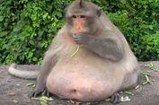 Seekor Monyet Obesitas di Thailand Dipaksa Berdiet