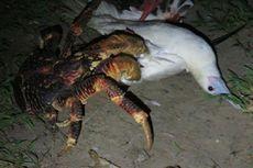 Aneh tapi Nyata, Kepiting Kelapa Raksasa Serang dan Makan Burung