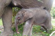 Taman Nasional Riau Kedatangan Bayi Gajah Berbobot 156 Kg
