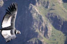 Berburu Foto Burung Kondor di Colca Canyon Peru