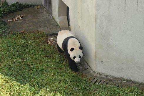 Dua Panda Raksasa Asal China Tiba di Indonesia