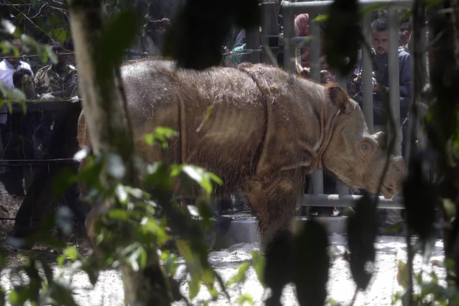 Harapan, Badak Sumatera yang Mencari Jodoh