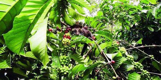 Hasil gambar untuk kebun kopi lembang
