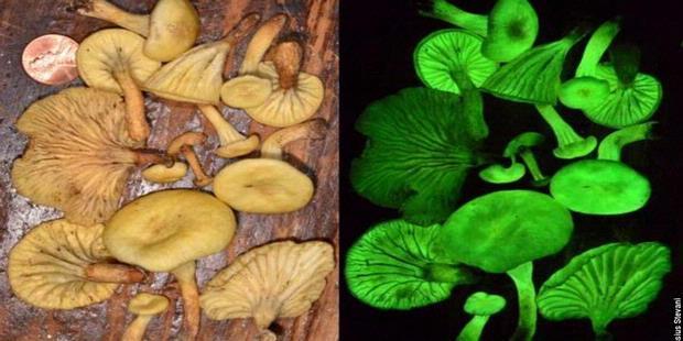 Jamur Hantu  Ditemukan Setelah 160 Tahun Hilang,
