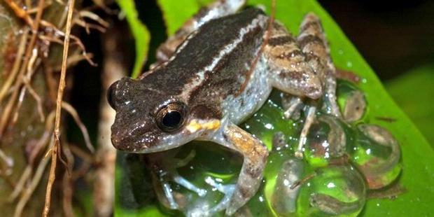 13 Katak Bertaring Ditemukan di Sulawesi