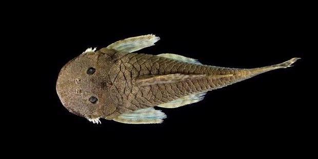 Seekor Ikan Lele Unik Ditemukan di Ekuador