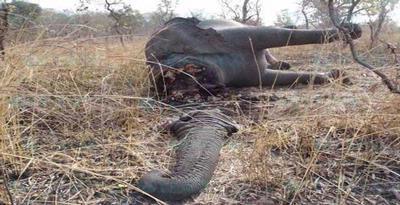foto dan video Pembunuhan Massal Gajah di Kamerun - infoinfo unik