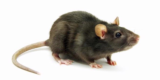 Israel Kembangkan Tikus Pelacak Bom