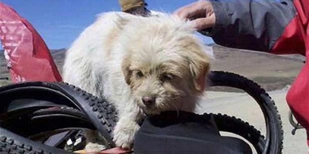 Xiao Sa, anjing liar dari Tibet ikut petualangan sepeda sejauh 1600km